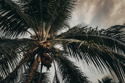 coconut tree panama zoom background