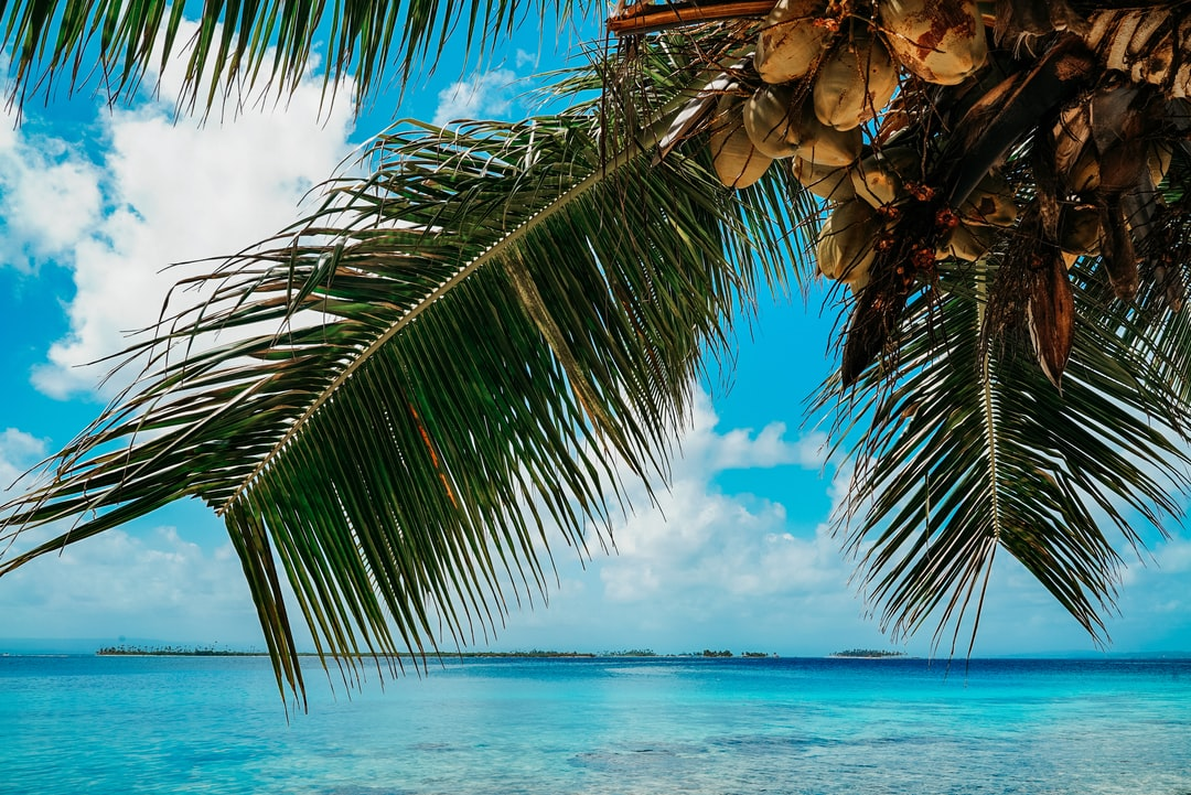 Palm tree with coconuts in Panama at the beach with blue sky, white clouds and crystal clear water at daytime