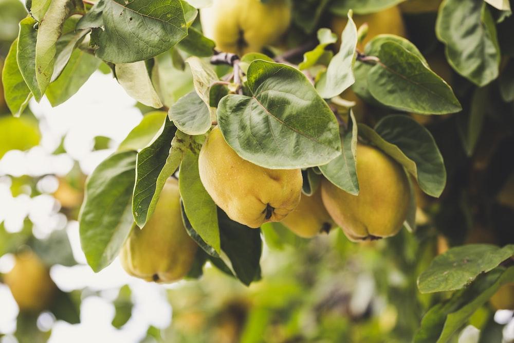 macro photography of round yellow fruits