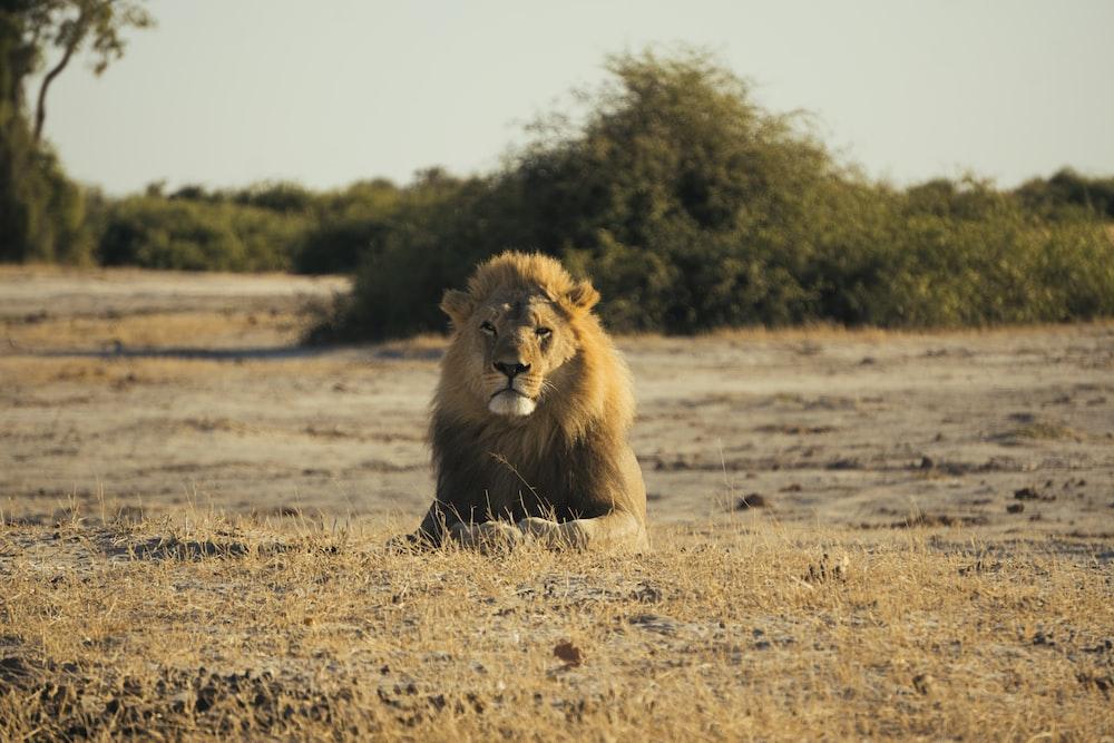 brown lion sitting on ground during daytime