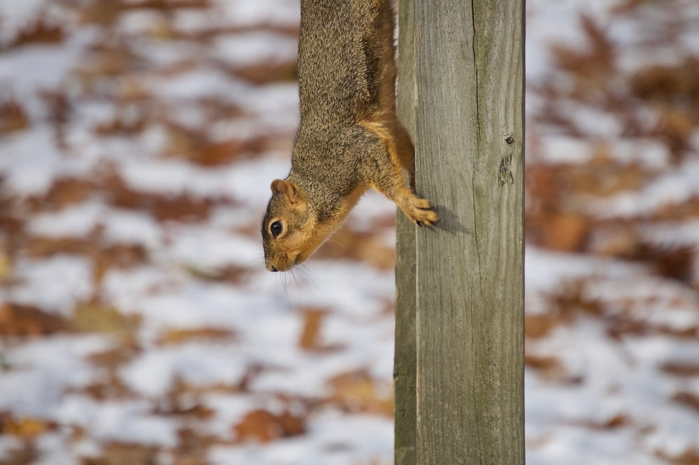 brown and gray squirrel on gray plank