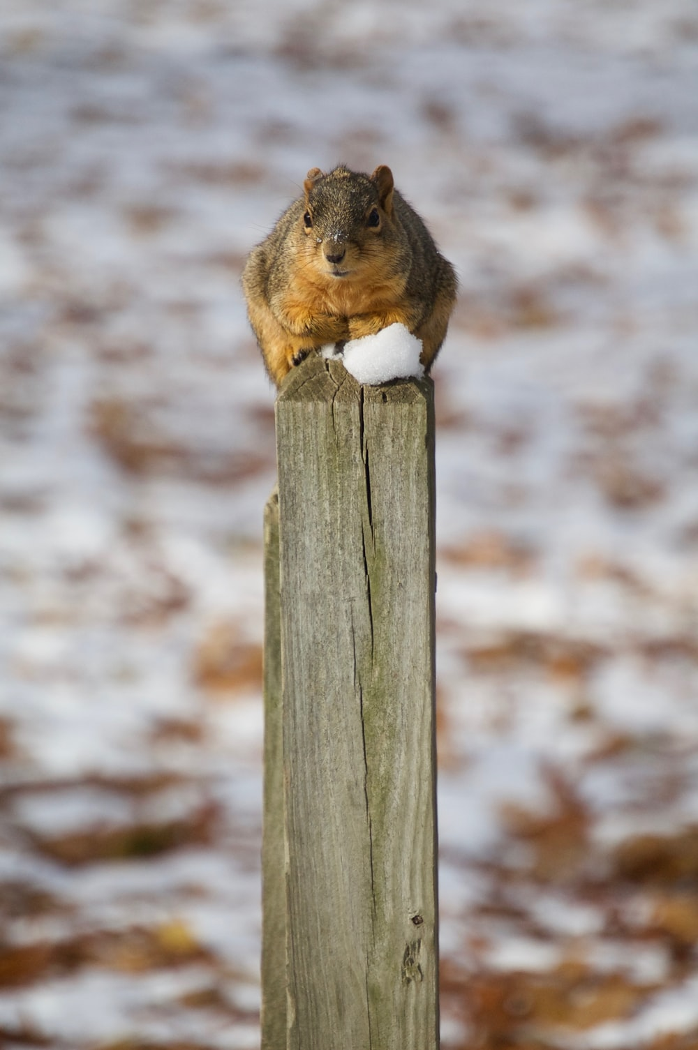 brown squirrel photograph
