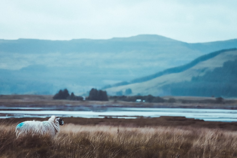 white sheep on brown field viewing body of water and mountain
