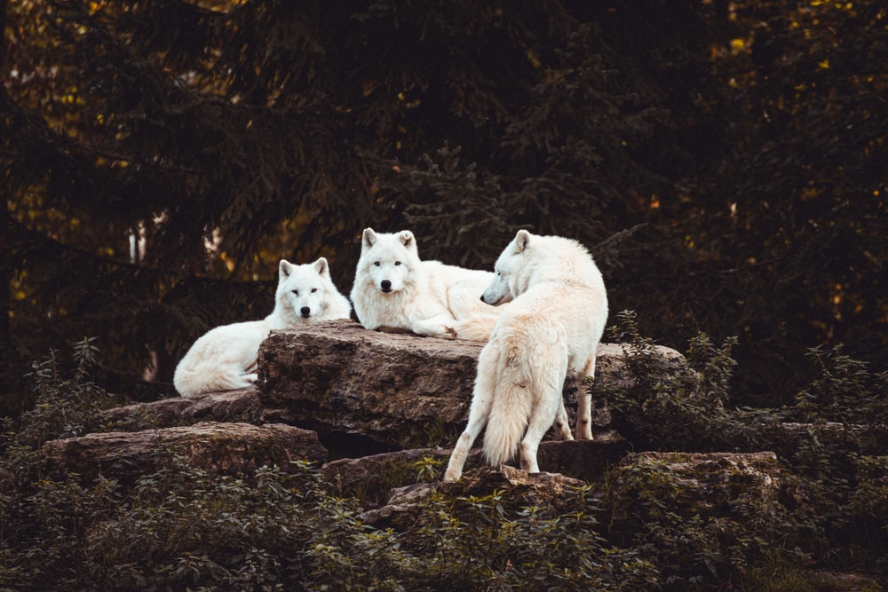 three white dogs surrounded by trees
