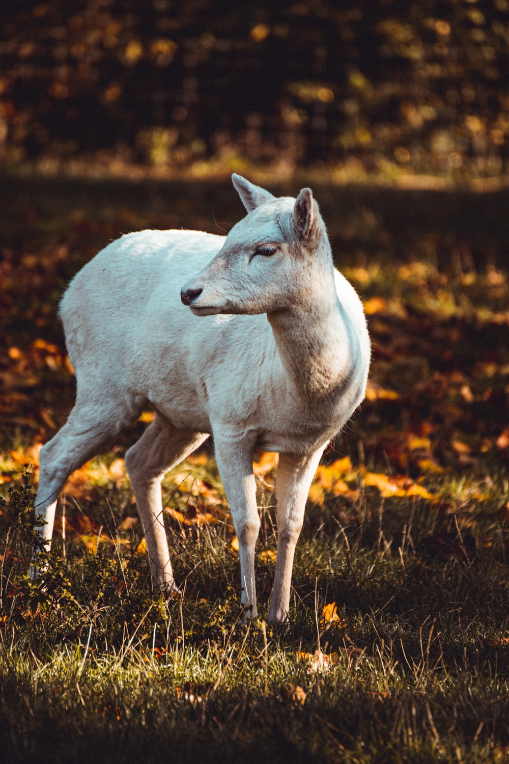white goat on the grass field photograph