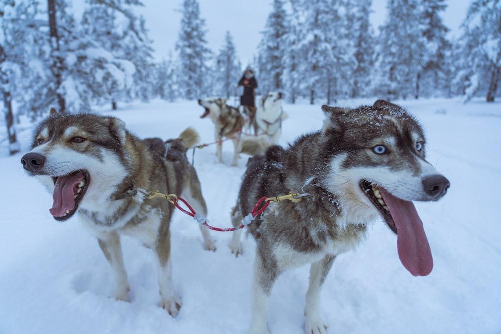 brown and white Siberian huskies on snowy field