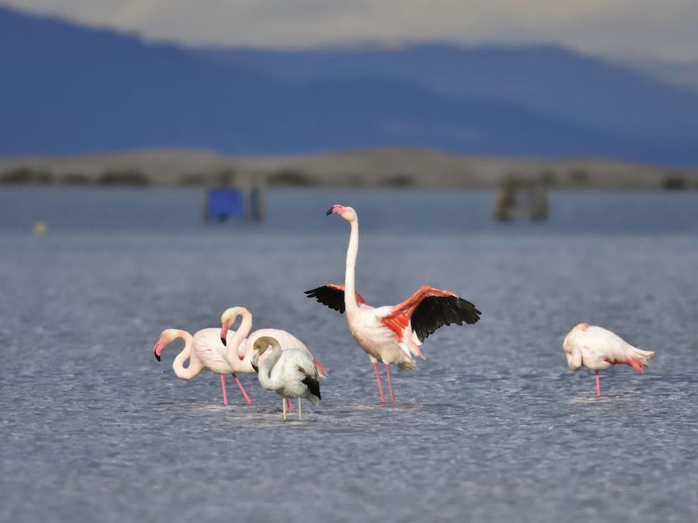 flamingos on body of water during daytime