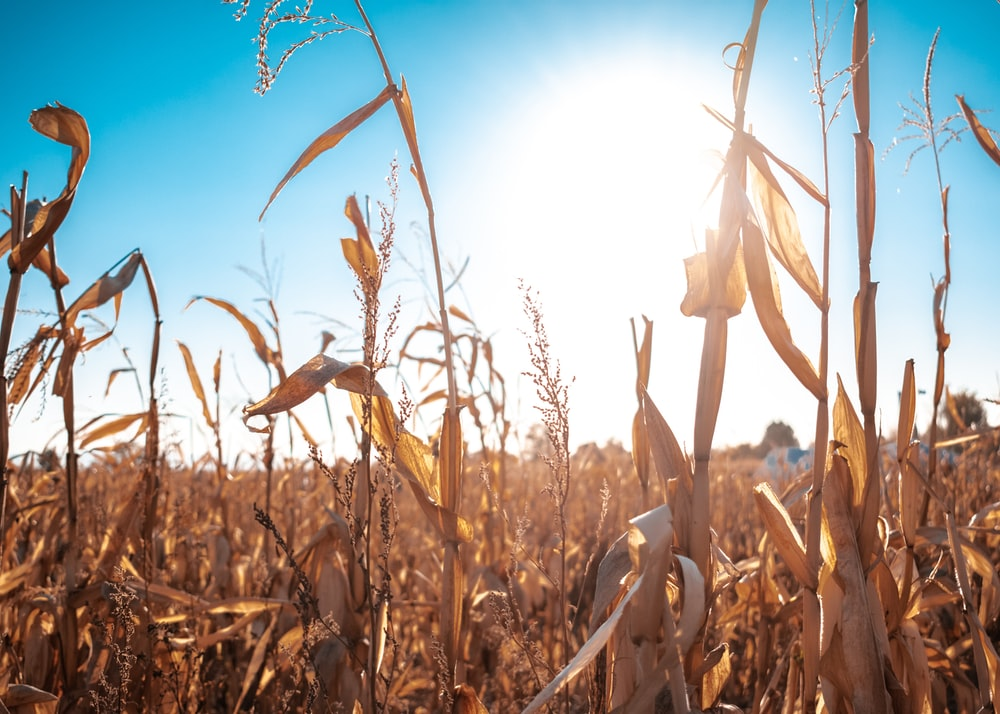 withered brown corn field under a calm blue sky