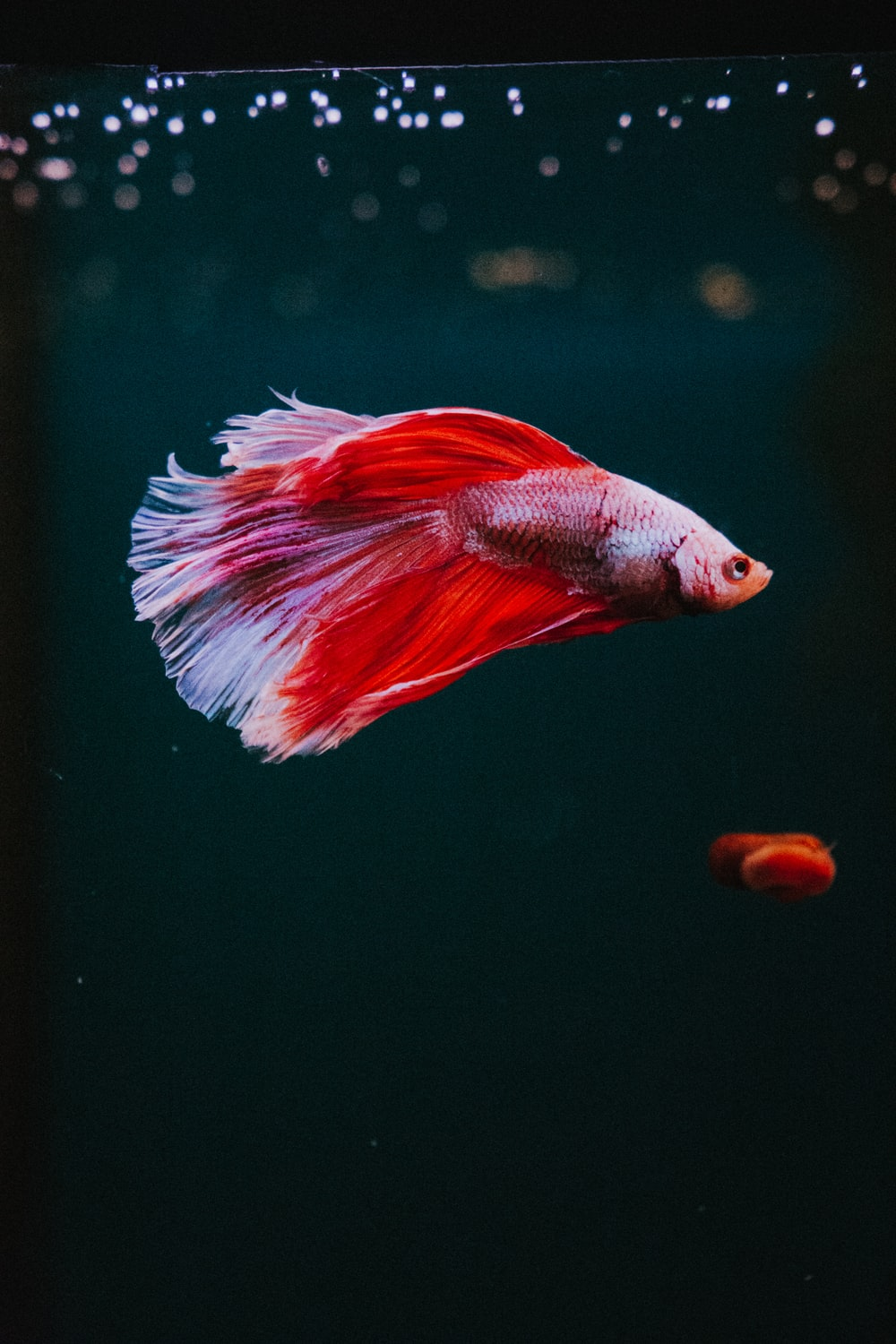 red fish wallpaper