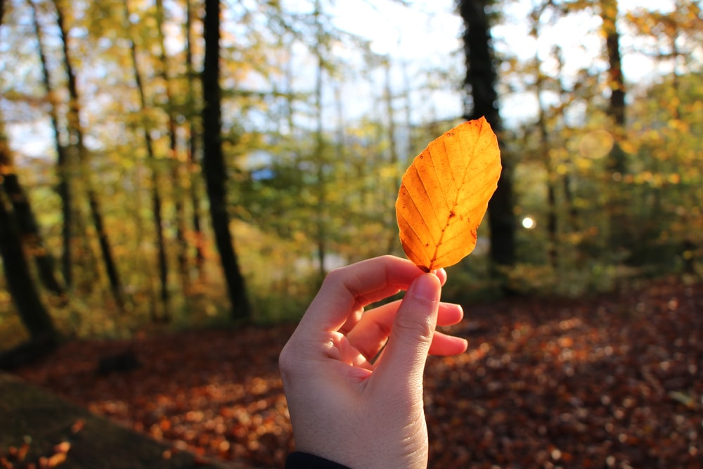 person hand holding yellow leaf