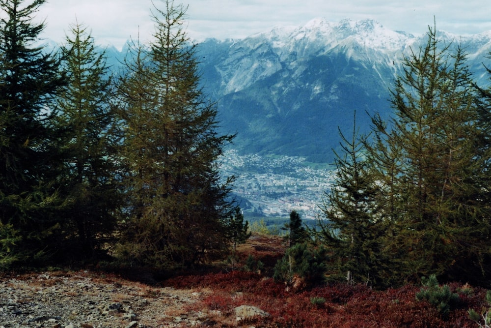 green pine trees and white mountains