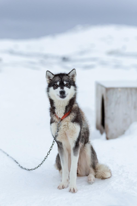 white and gray Siberian husky sitting on snow