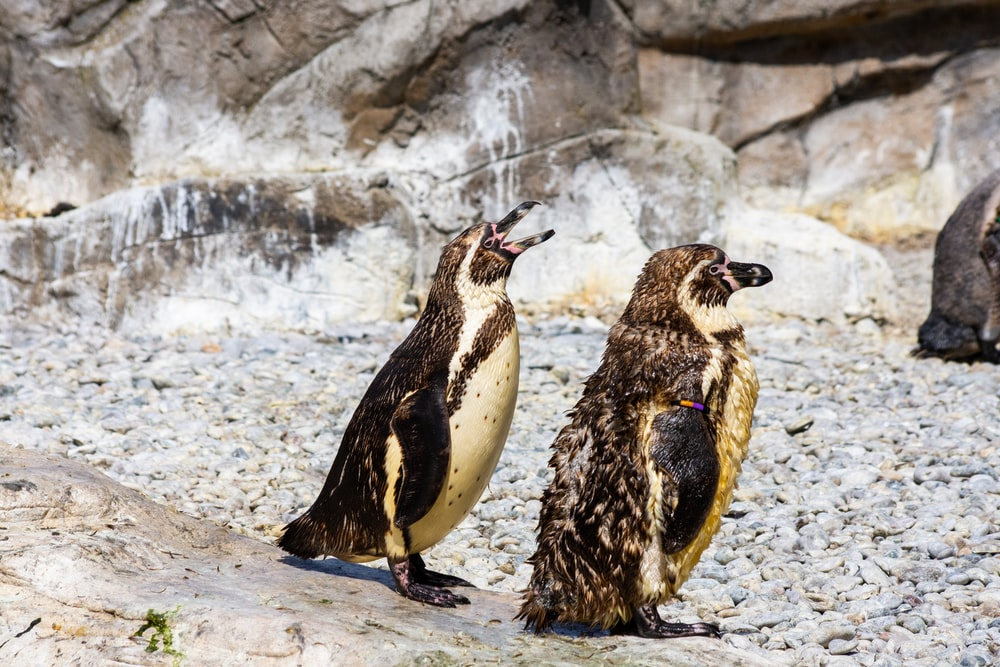 two white and black penguin photograph