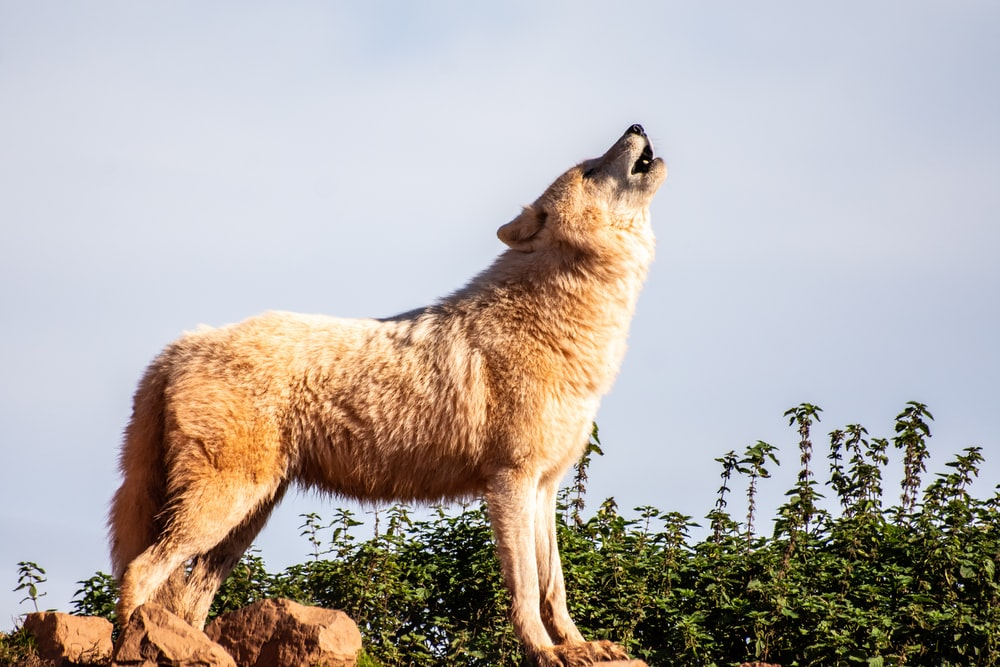 brown wolf standing boulder during daytime