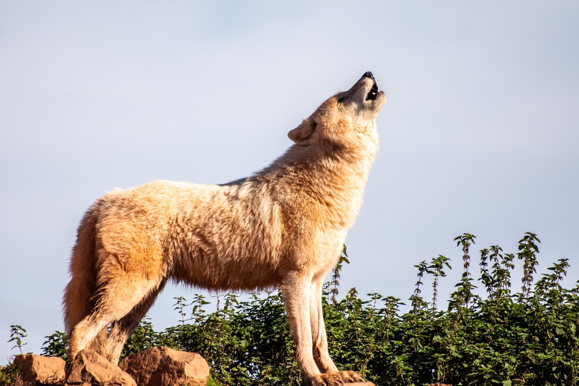 Similitudini tra cani e lupi