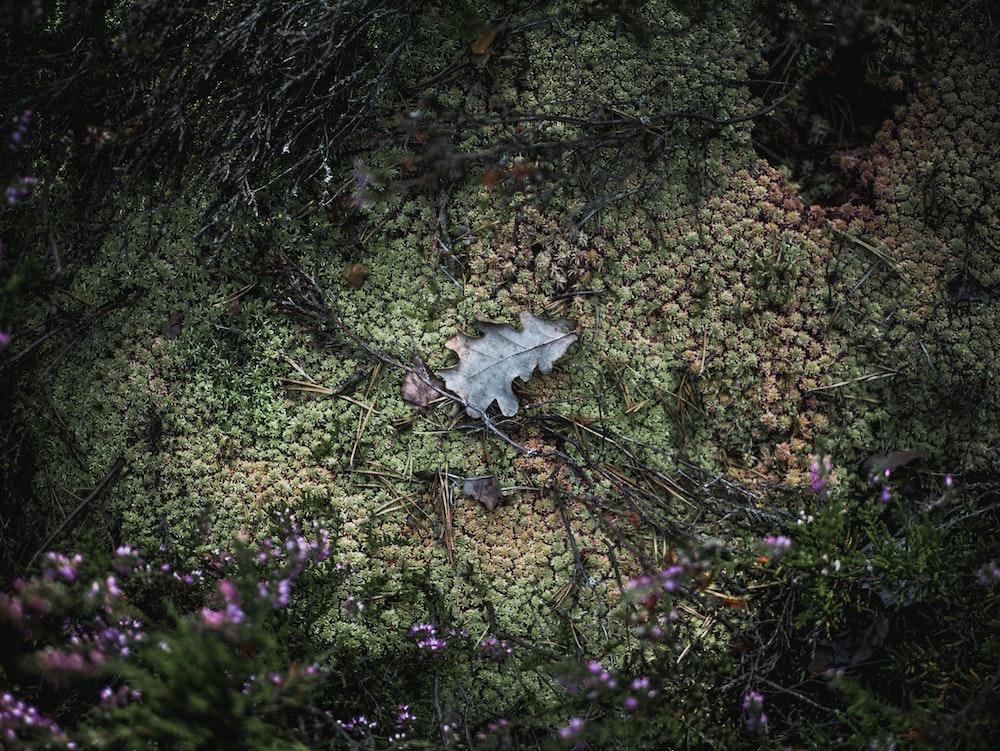 white maple leaf on green grass