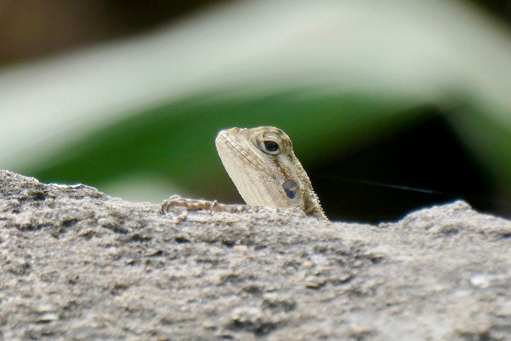 lizard on gray rock\