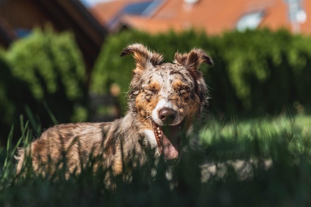 Australian Koolie dog on green field