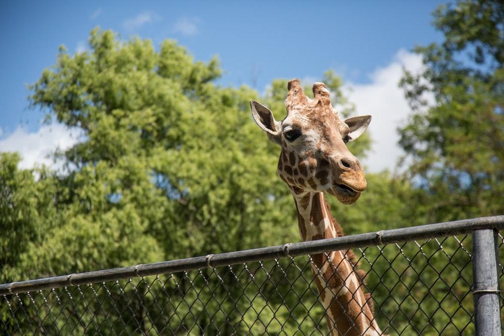 brown and white giraffe ]