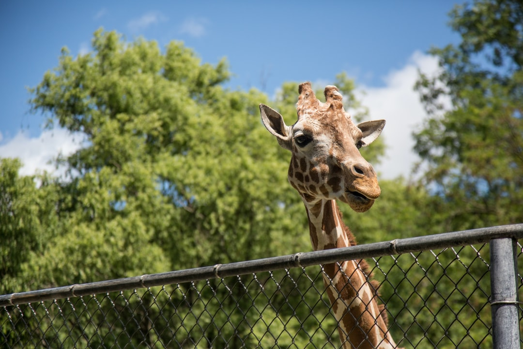 A giraffee looks over the fence.