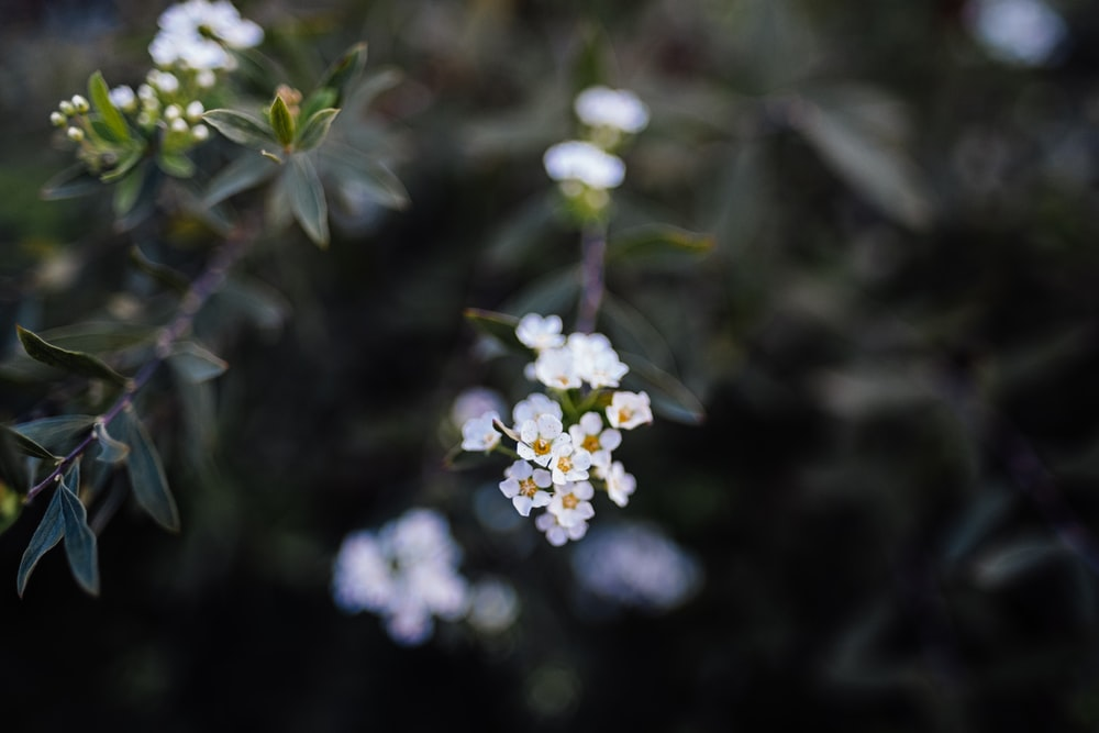 white cluster flowers