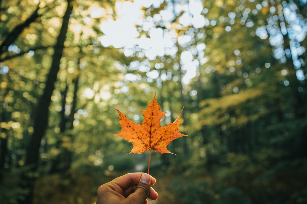 shallow focus photo of brown maple leaf