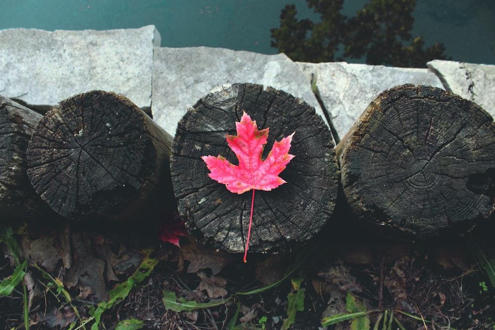 red maple leaf on wood slab