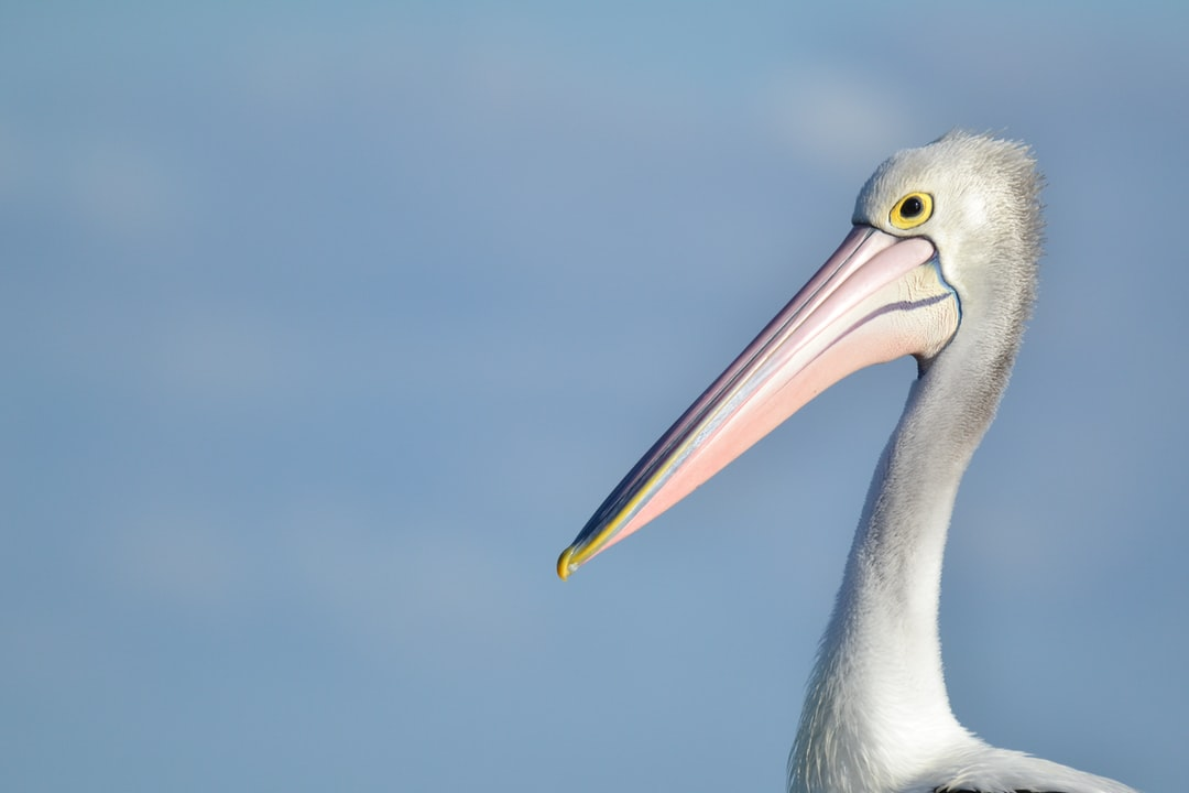 Pelican in Sydney, Australia