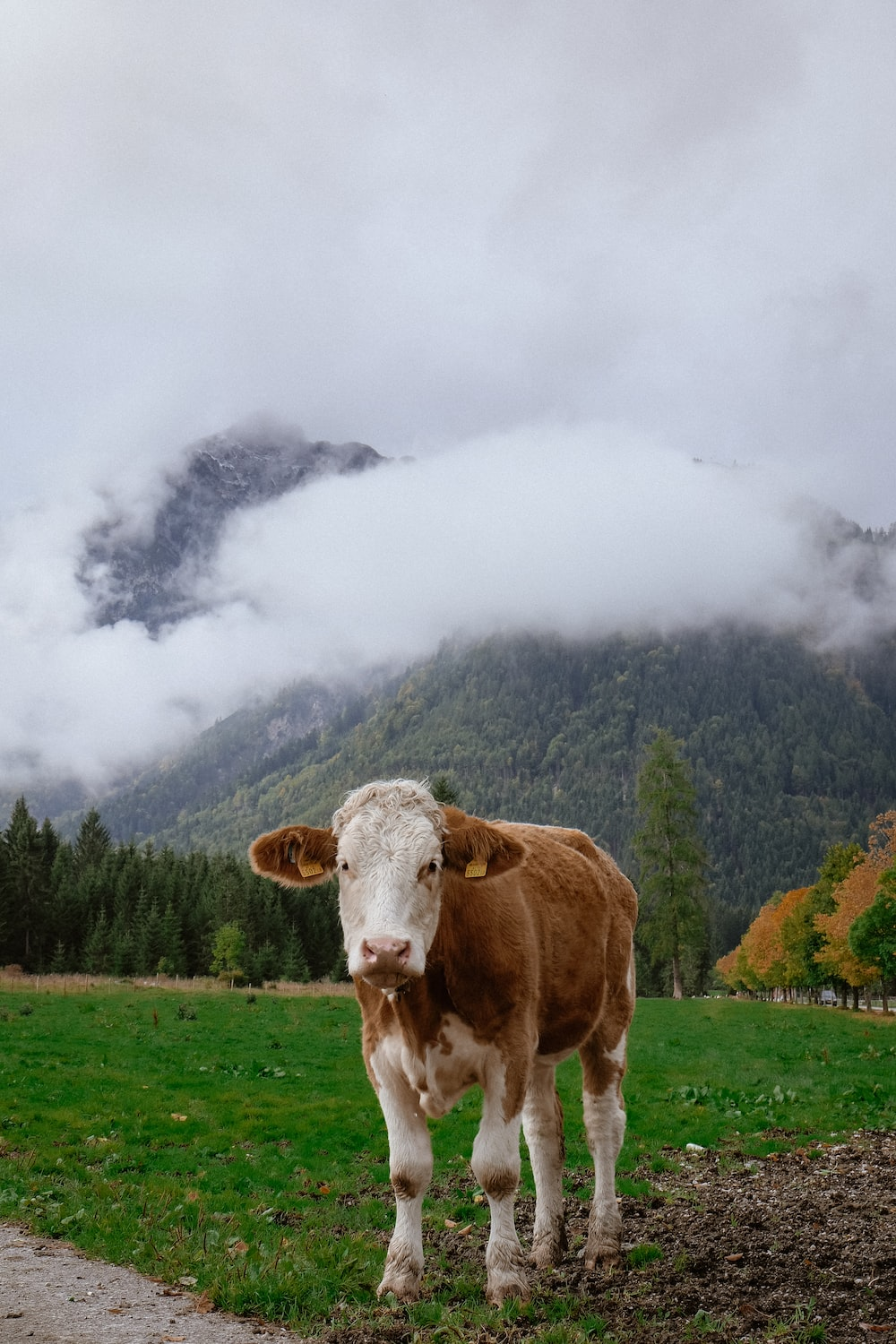 brown and white cow on grass field