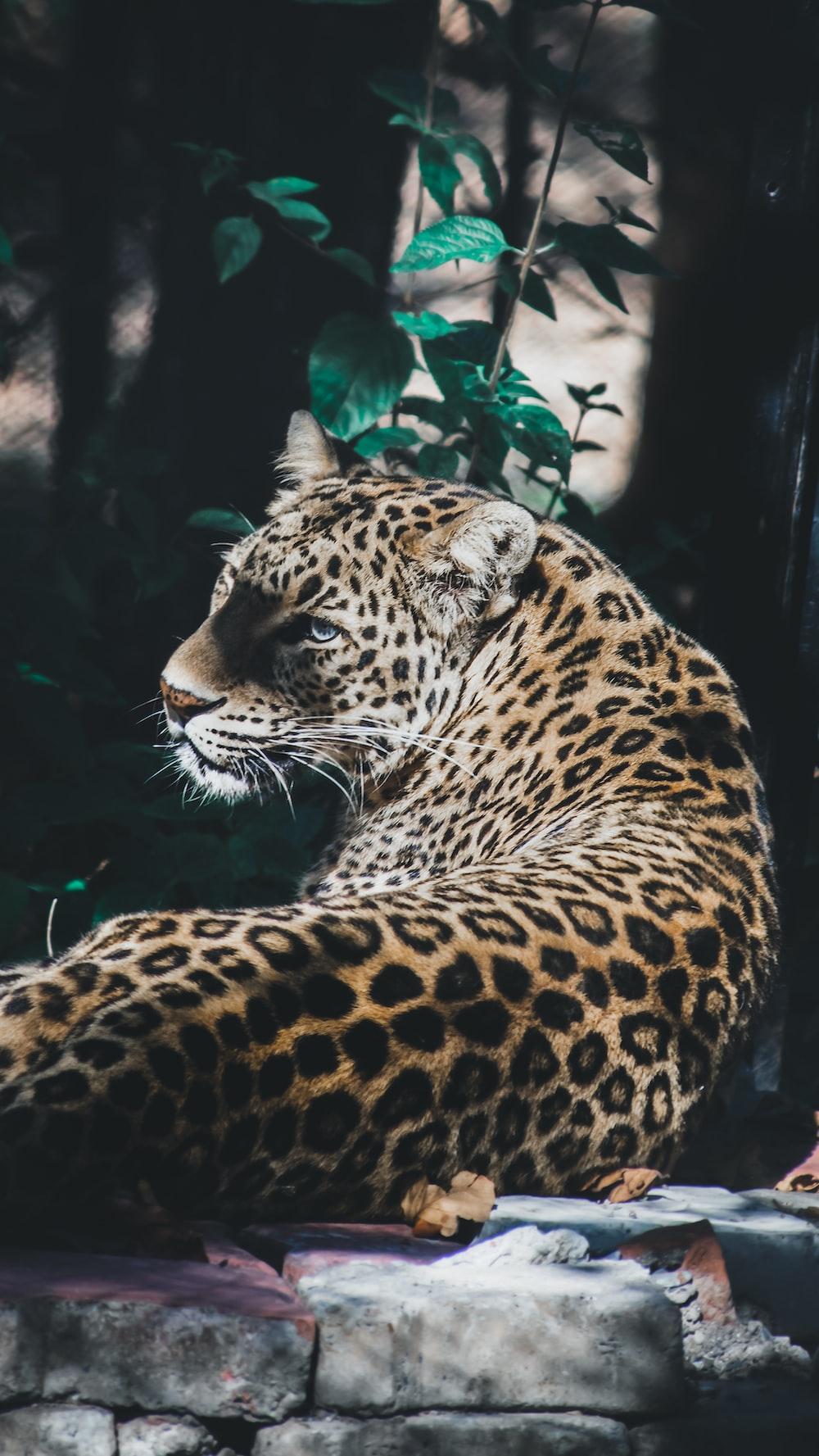 leopard during daytime