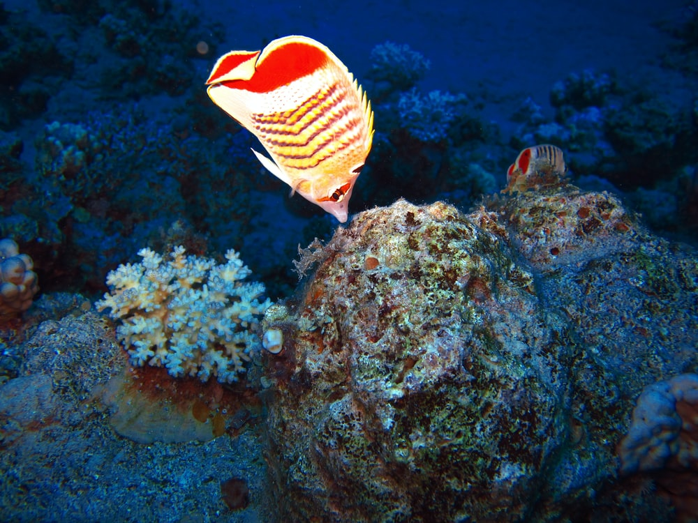 red and yellow striped fish on reef