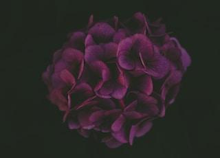 purple hydrangea wallpaper