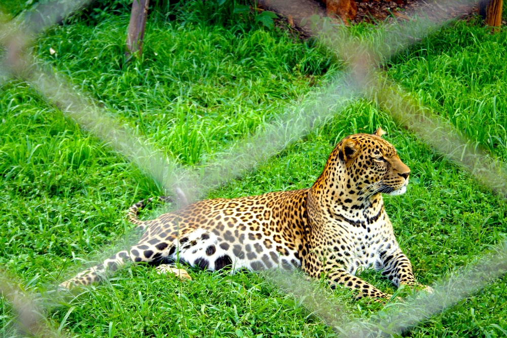 brown white and black leopard resting on grass field
