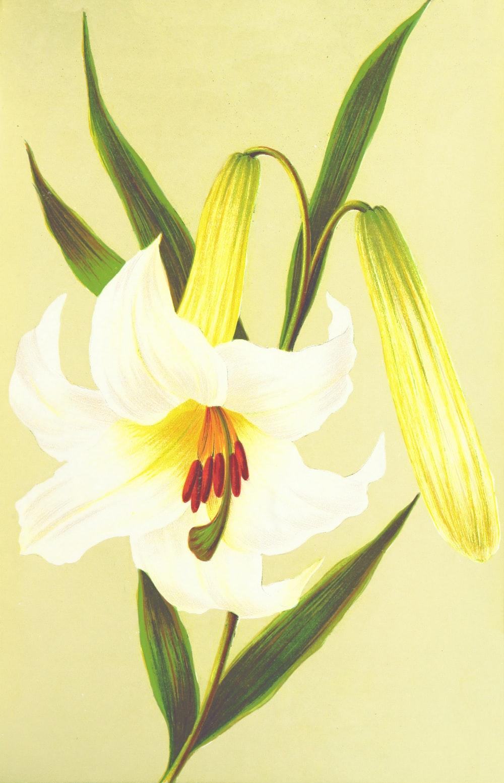 white-petaled flower illustration