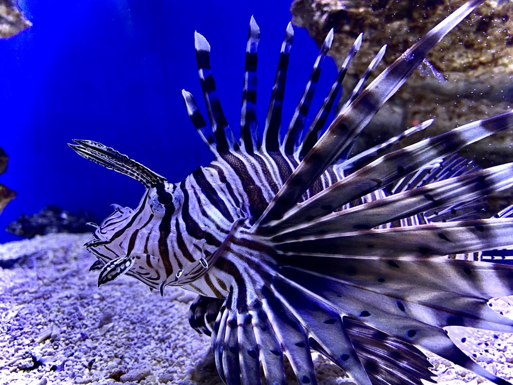 black and white lionfish
