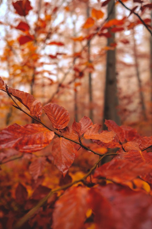 red leaf plant near trees