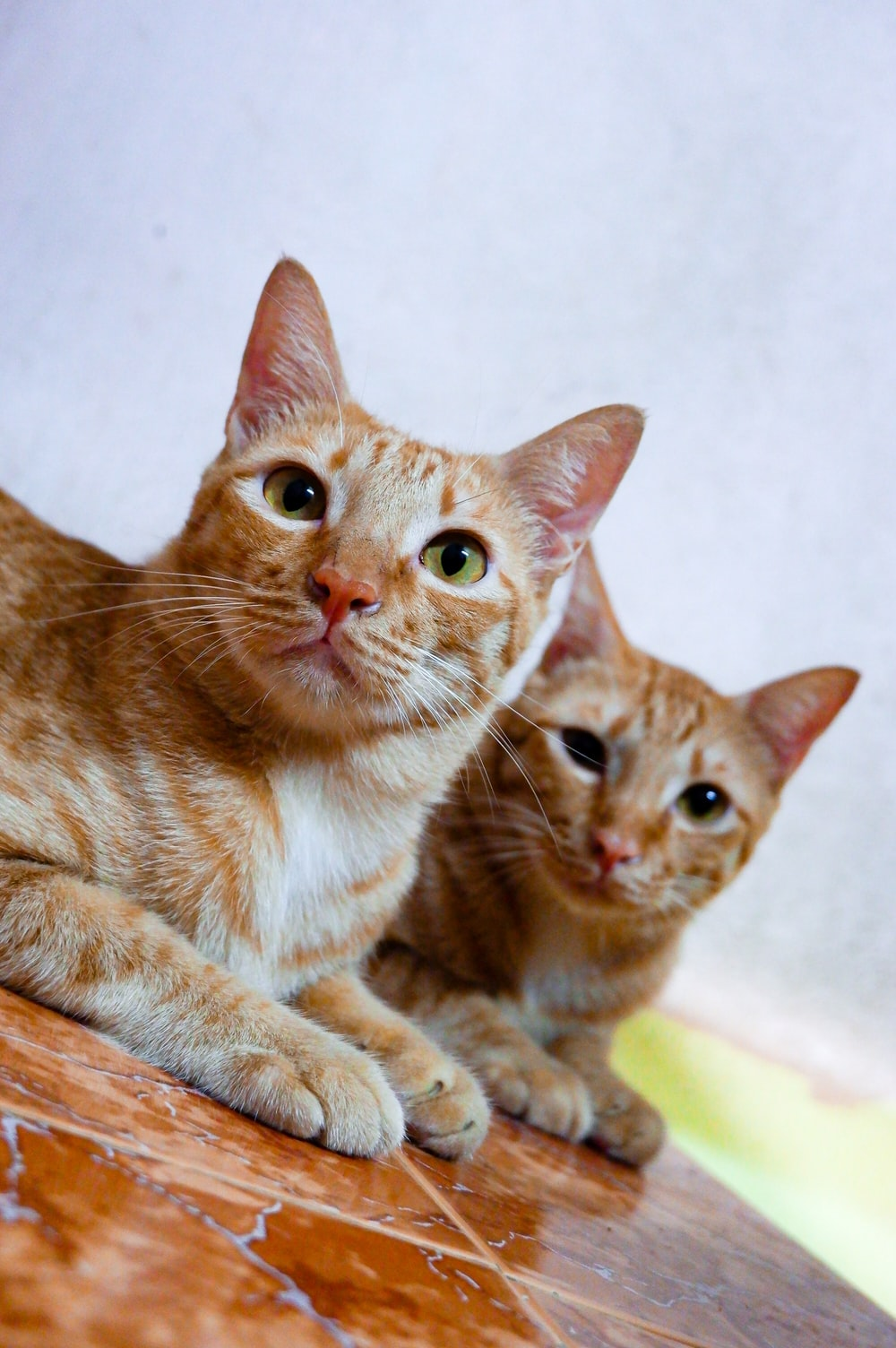 two orange tabby cats