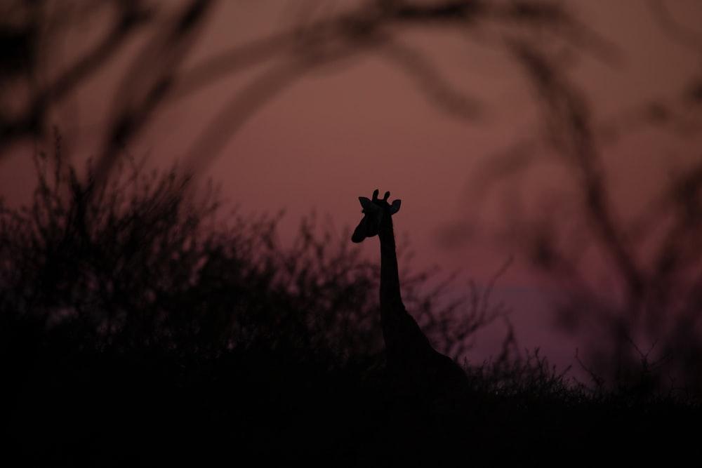 silhouette photography of giraffe