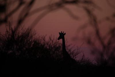 silhouette photography of giraffe botswana teams background