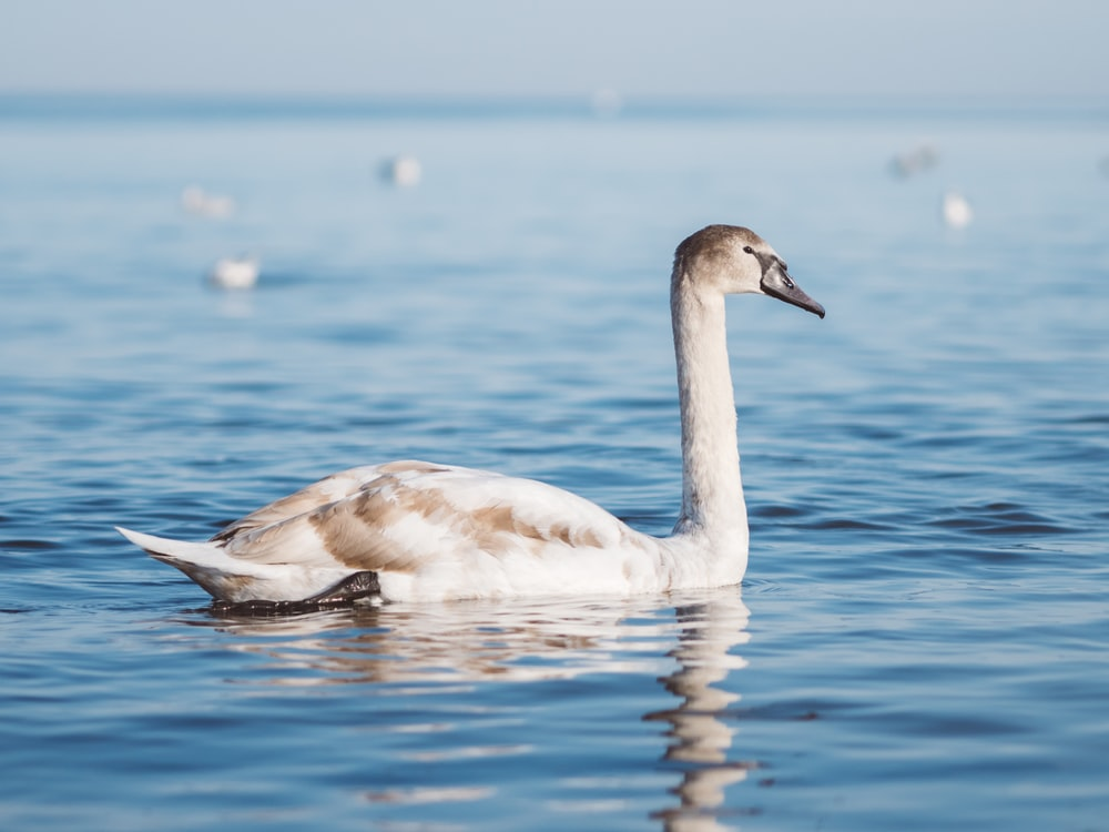 white duck floating on body of water