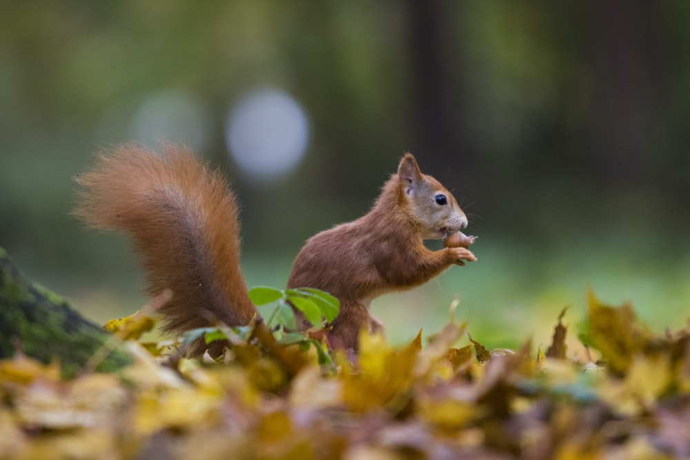 brown squirrel on dried leaves