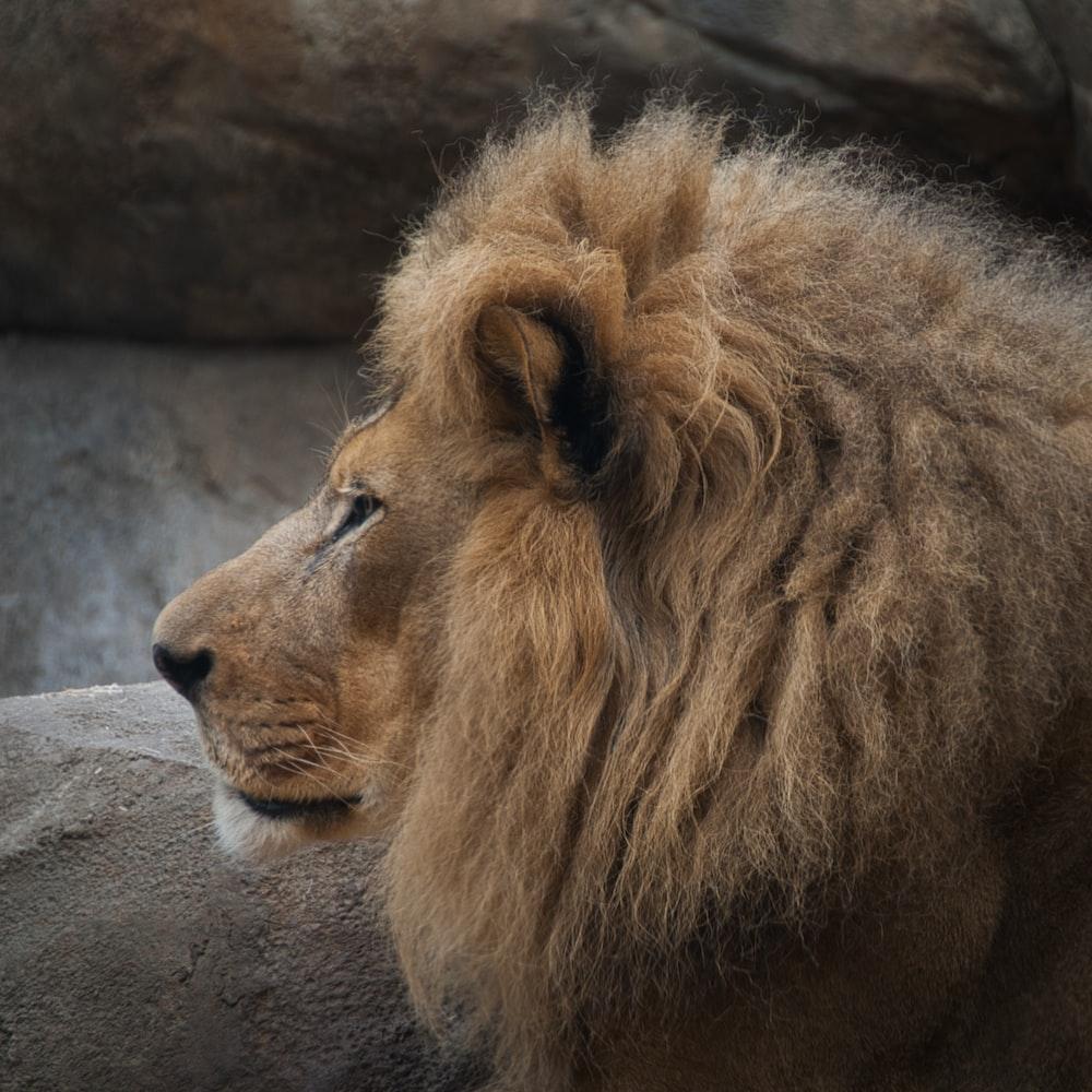 adult brown lion