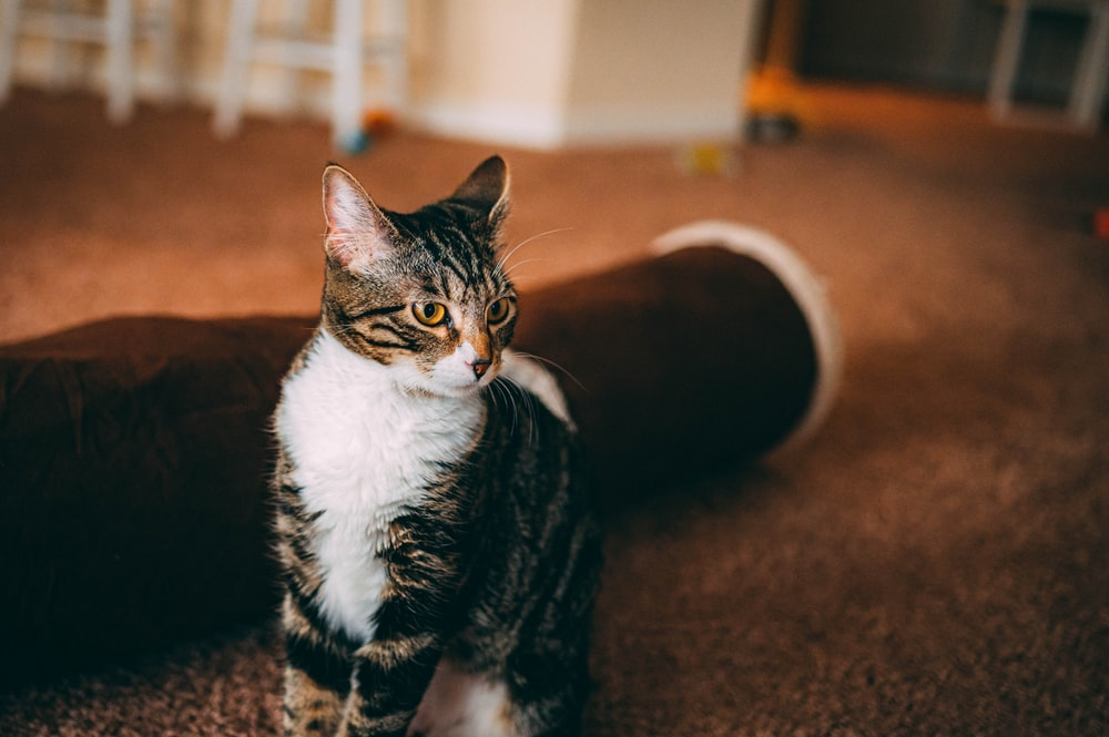 brown tabby and white cat sitting on floor