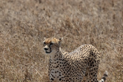 cheetah photograph tanzania teams background