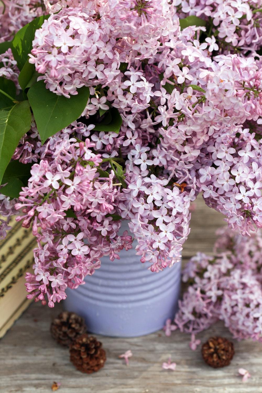 pink hydrangea flowers in gray bucket