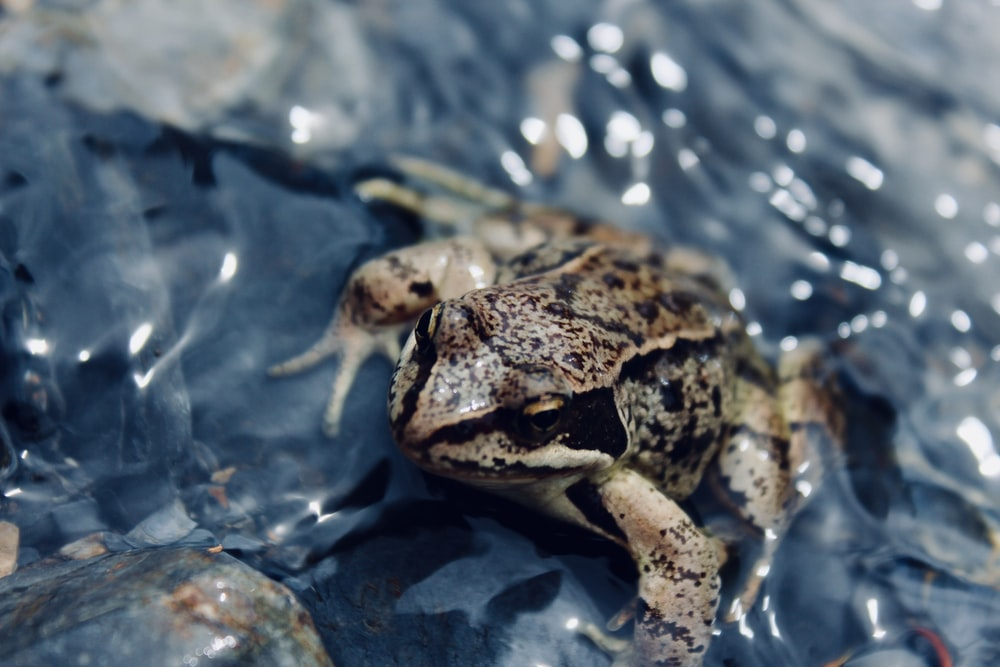 macro photography of brown and black frog on body of water