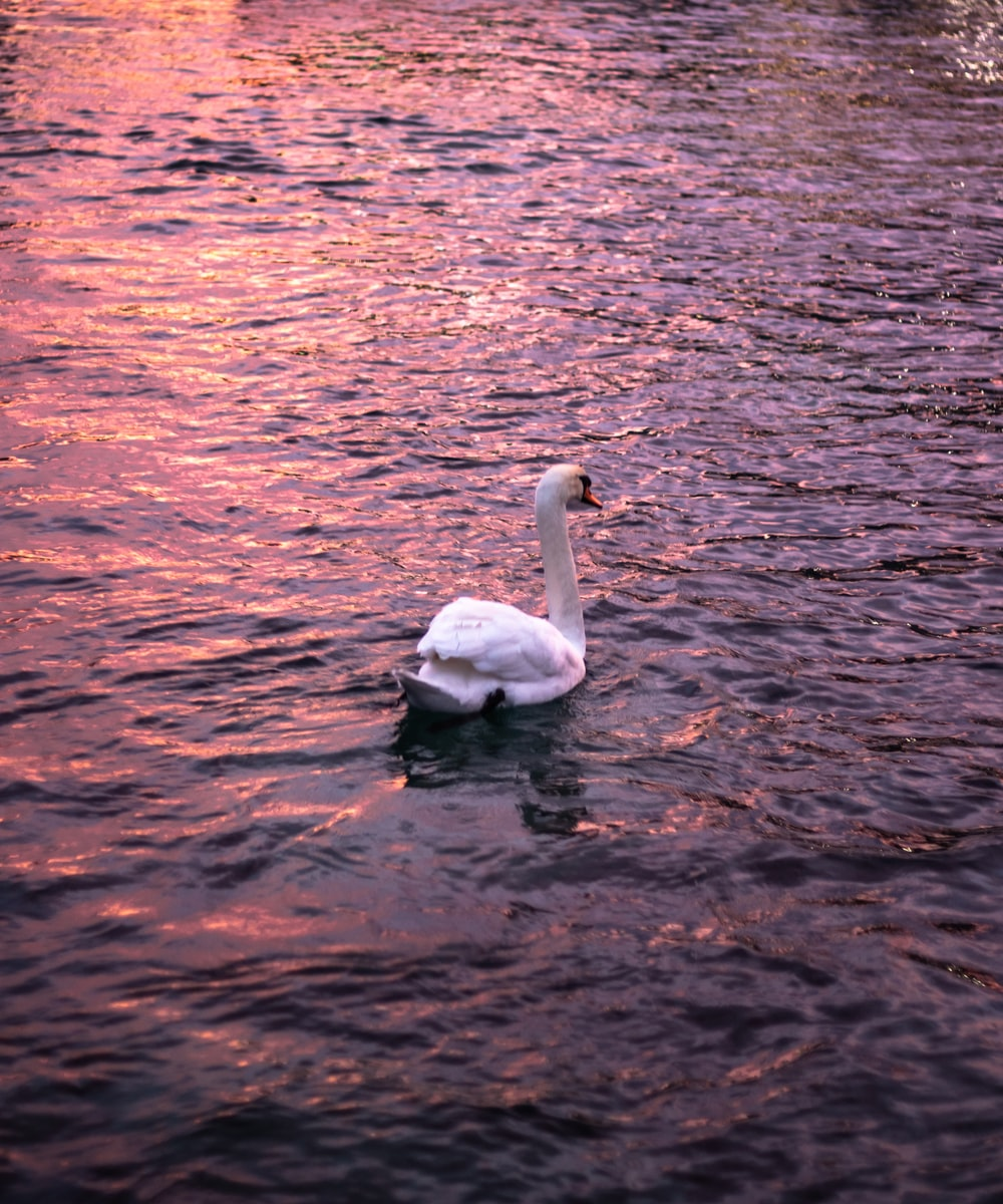 white swan at pond