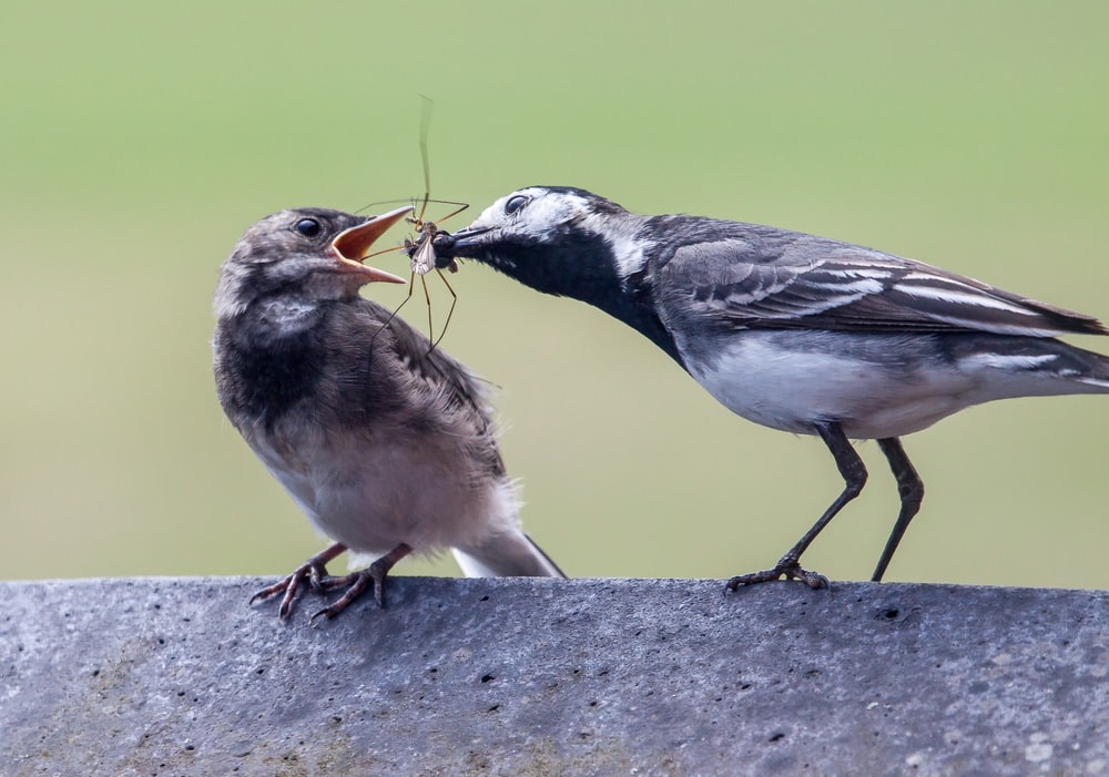 gray bird feeding another bird with spider