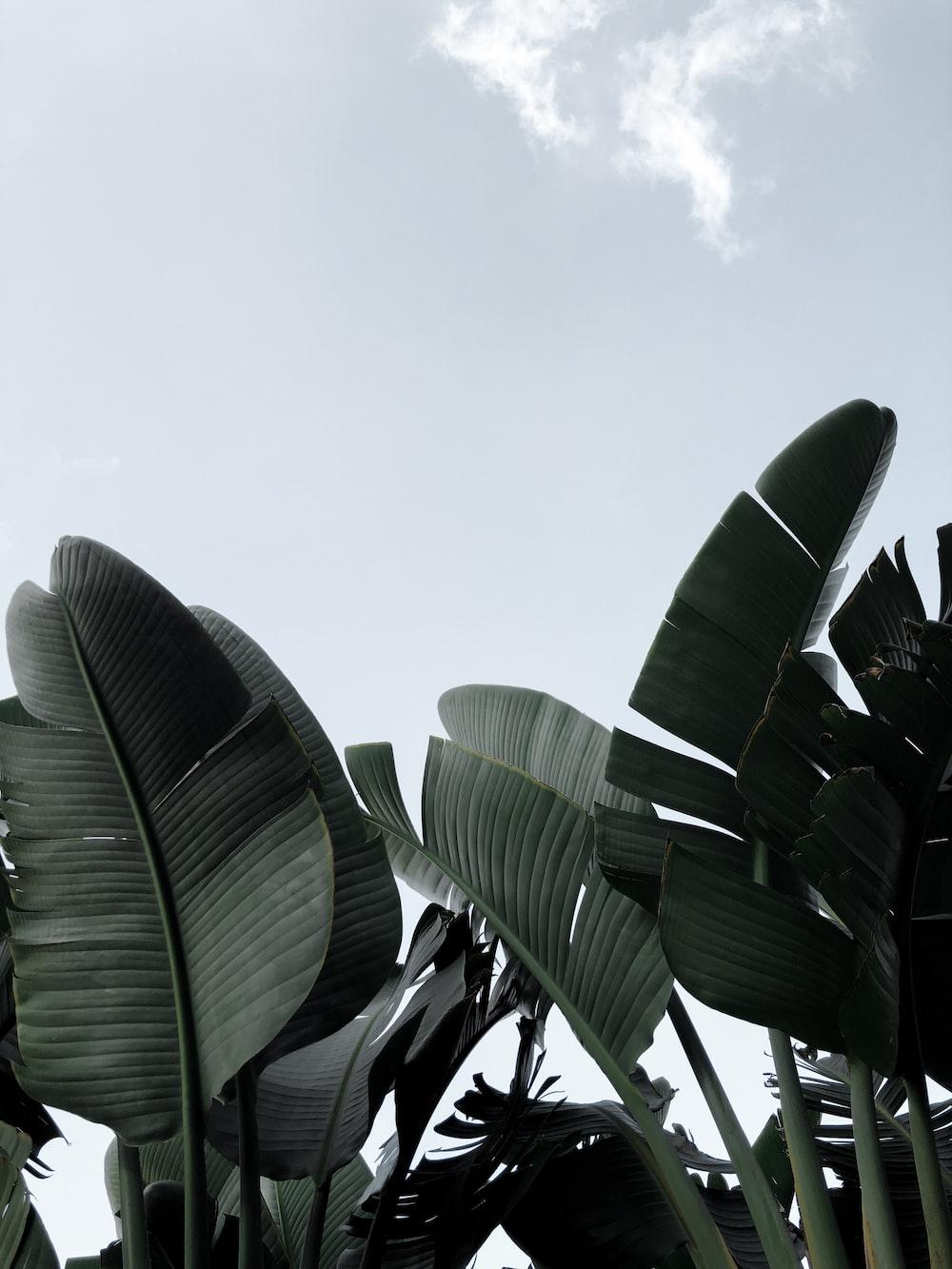 grayscale photo of banana
