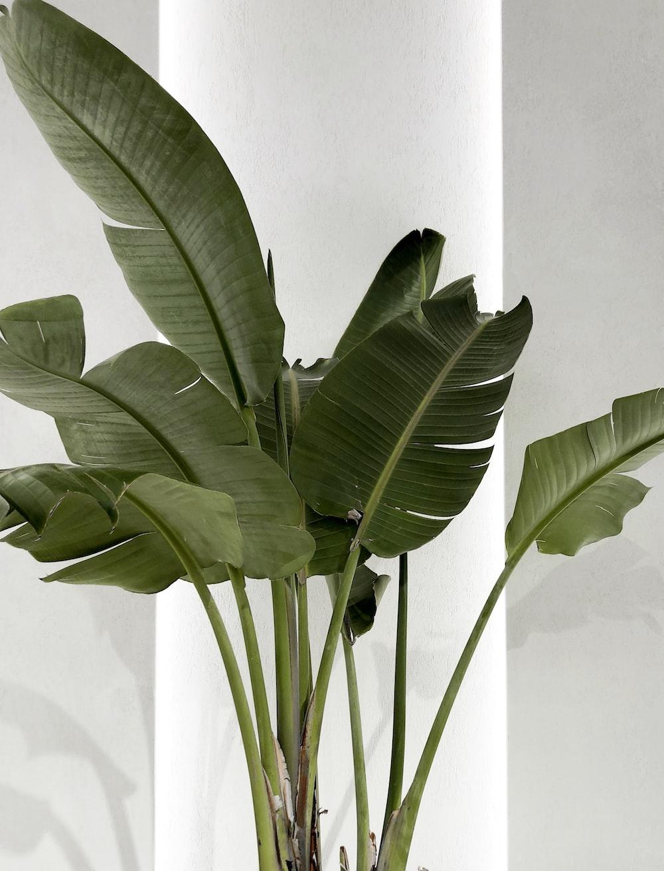 green banana plant